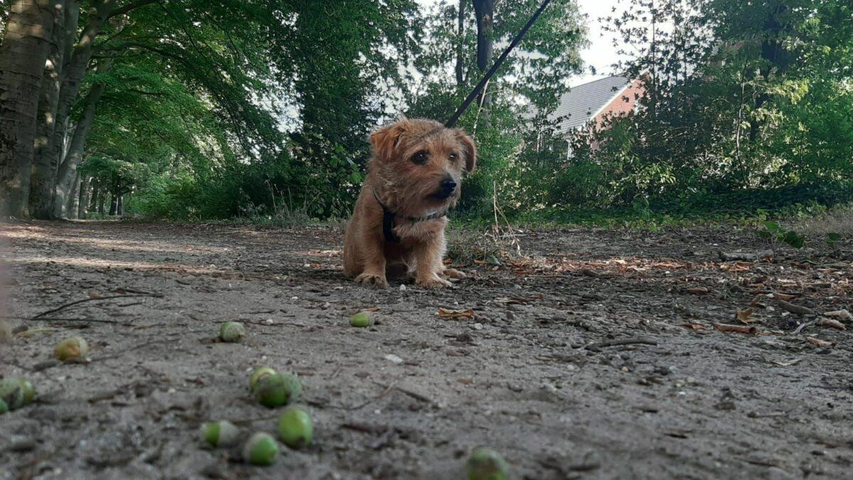 groene eikels hond gevaarlijk