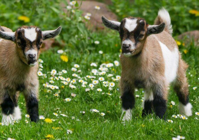 geiten wonen huis woonboerderij dieren putten