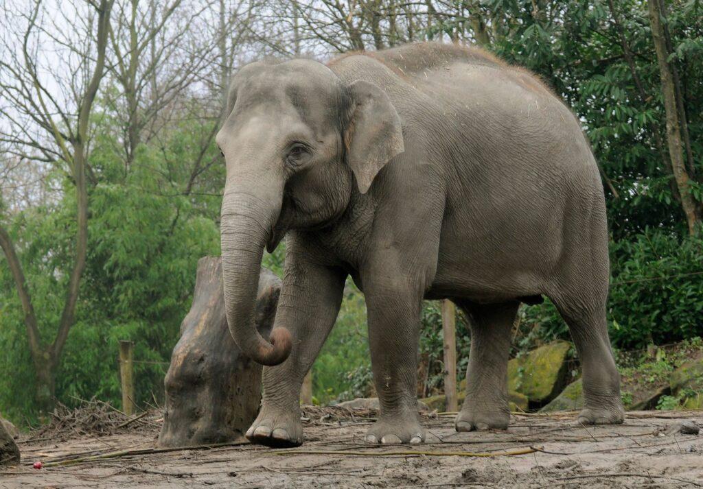 blijdorp bangka olifant diergaarde