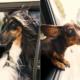 uber pets honden
