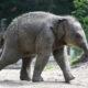 Aziatische olifant blijdorp
