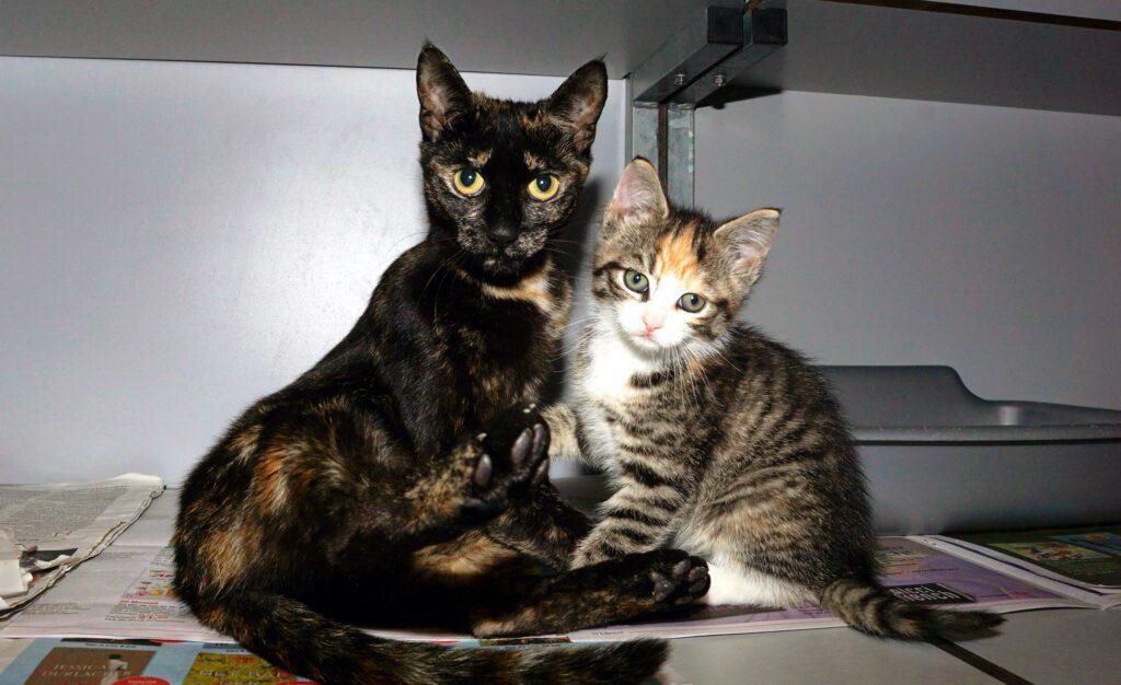 SZR Adoptiekat Dotta en Dottir (1)
