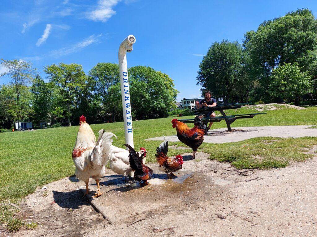 kippen Utrecht