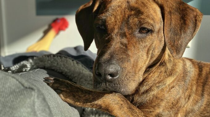 huisdier van de week Indy hond