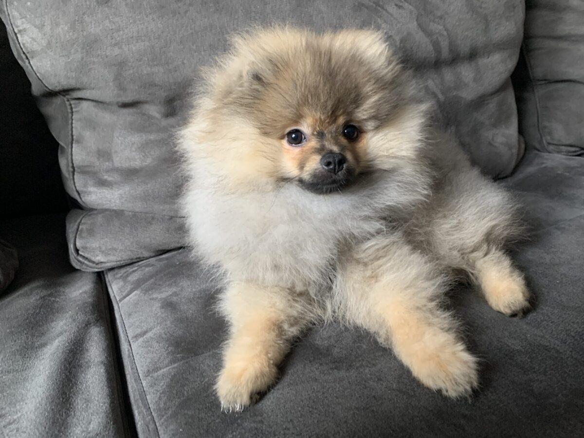 Keeshond Bomba hond huisdier