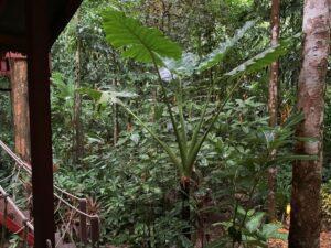 De Plantenpotten 02 Alocasia Thailand