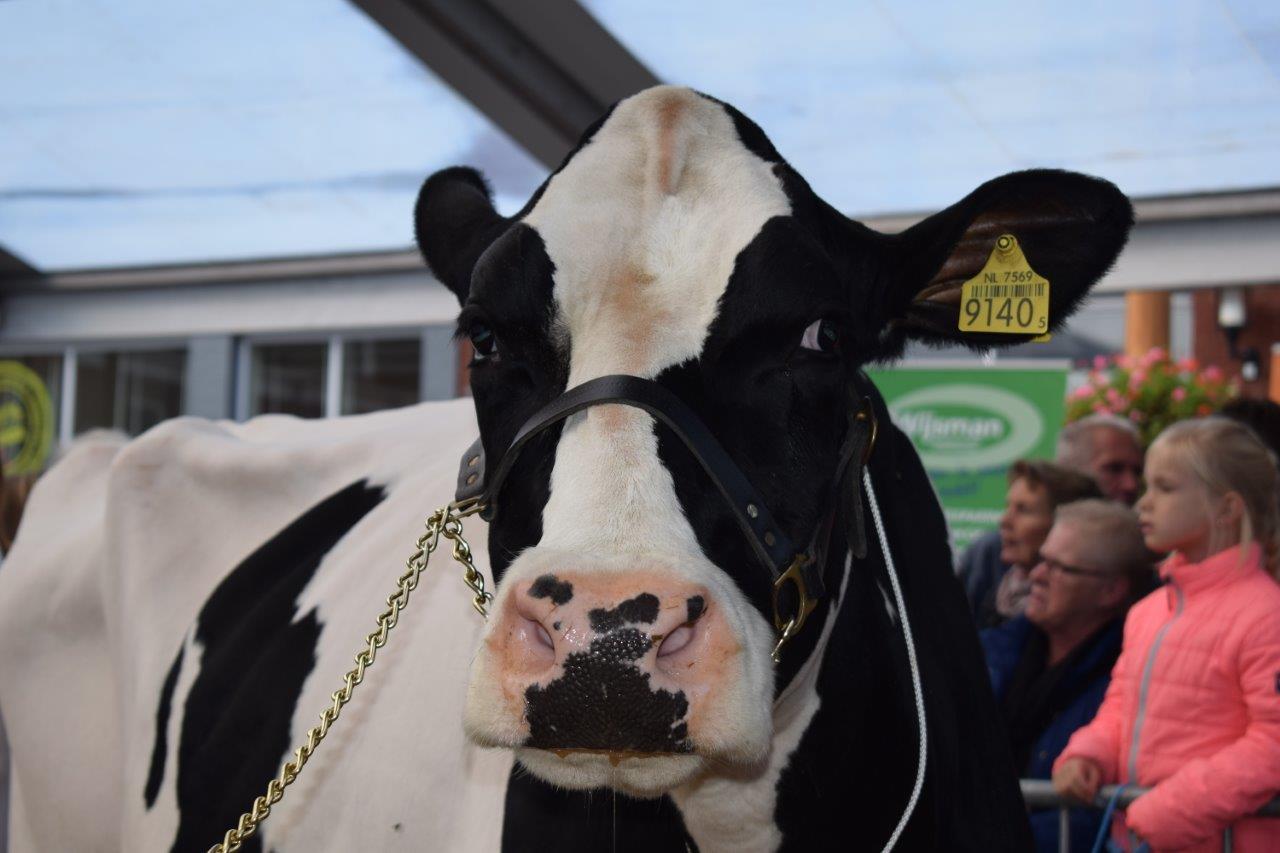 Koeiemart Koeienmarkt 2017 Woerden Fotoverslag