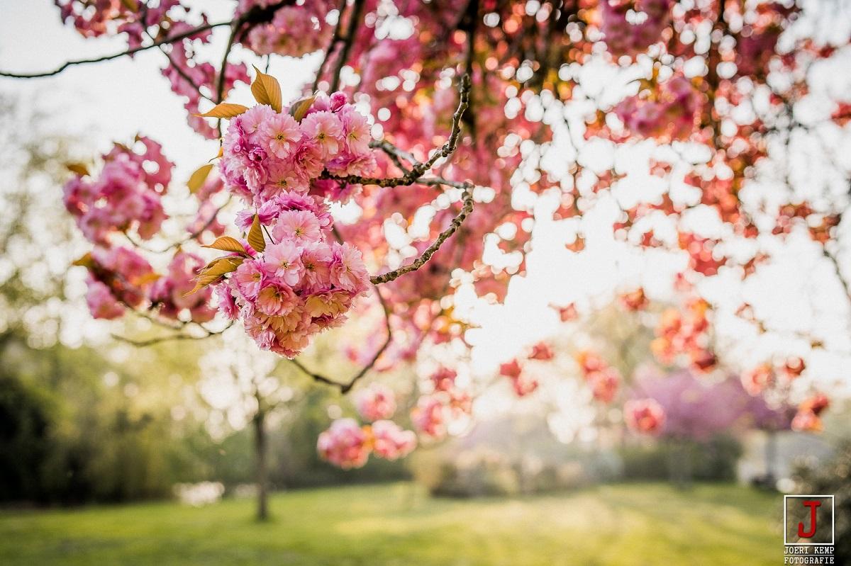 Bloesemboom Westdampark