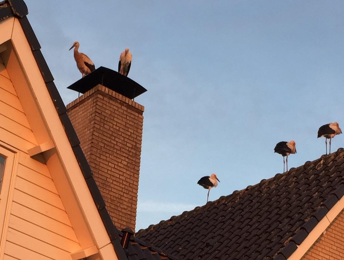 ooievaars op daken woerden
