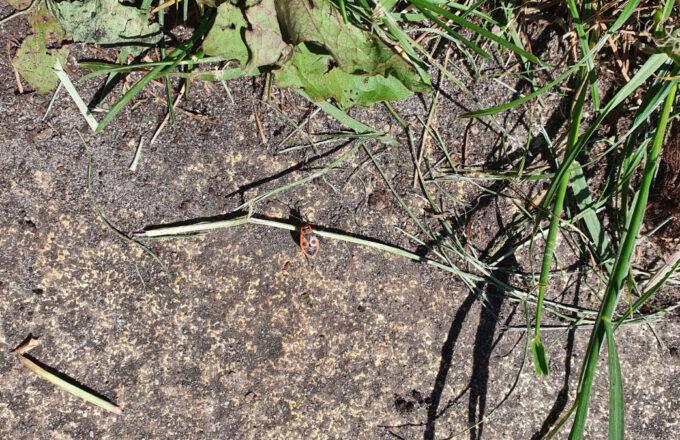 rood-zwart beestje in tuin