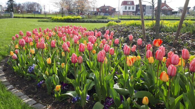 Tulpen Zoetermeer