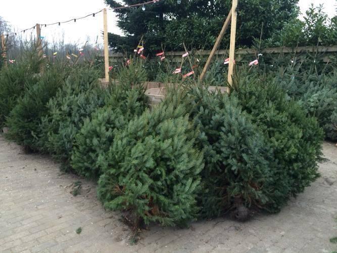 De Kerstbomen Van Gebroeders Ruitenberg
