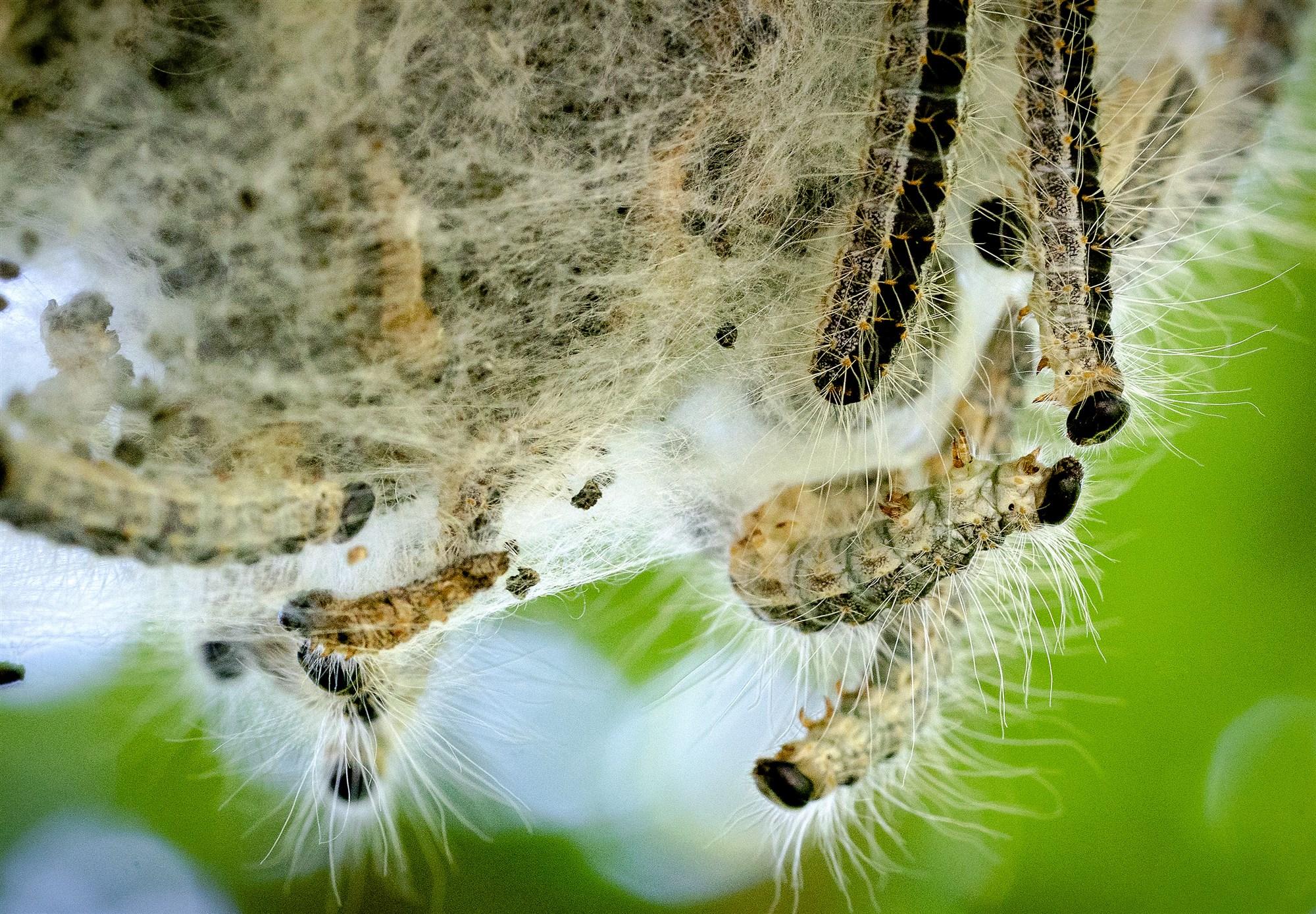 eikenprocessierups zwolle vlinder